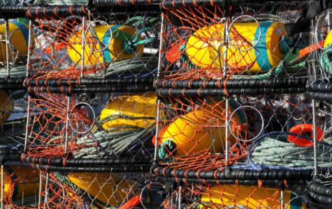 Crab Season Closed by Dangerous Acid Contamination